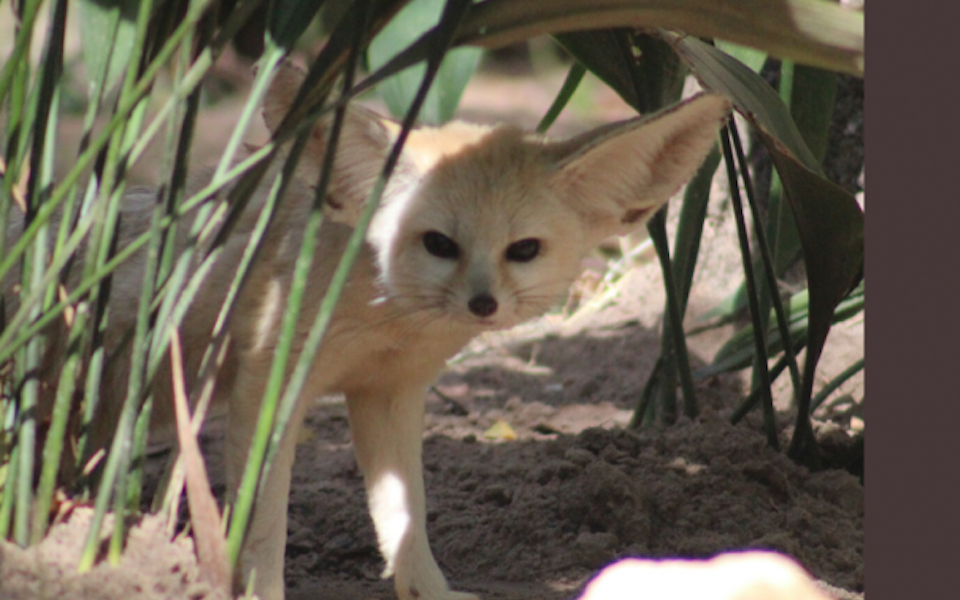 FENNEC FOXES AT THE TALLAHASSEE MUSEUM!